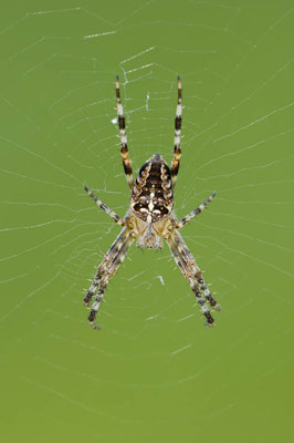 Gartenkreuzspinne (Araneus diadematus) / ch010829