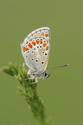 Kleiner Sonnenröschen-Bläuling (Aricia agestis) / ch091017