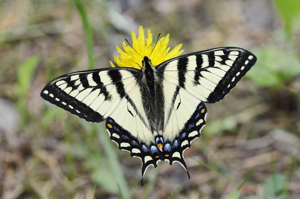 Kanadischer Tigerschwalbenschwanz (Papilio canadensis) / ch159193