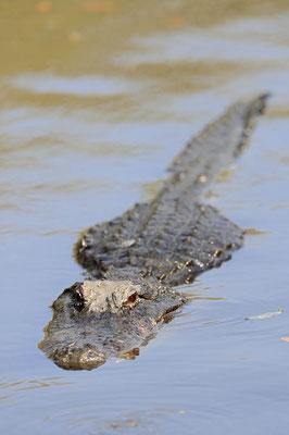Mississippi-Alligator (Alligator mississippiensis) / ch063674