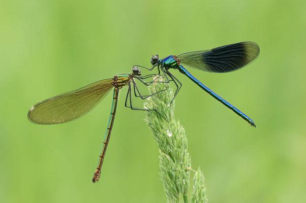 Gebänderte Prachtlibelle (Calopteryx splendens) / ch089144