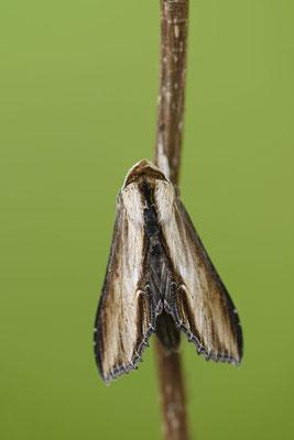 Braunwurz-Mönch (Shargacucullia scrophulariae) / ch136640