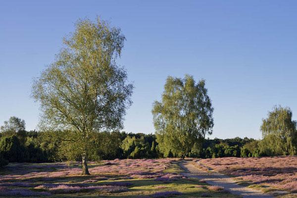 Blühende Heidelandschaft / ch168361