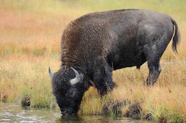 Amerikanischer Bison (Bos bison, Bison bison) / ch057548