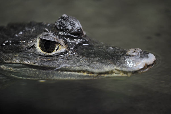 Brillenkaiman (Caiman crocodilus) / ch119341