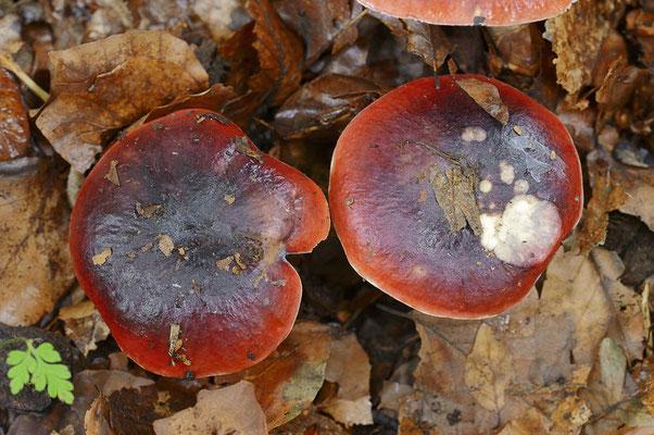 Purpurschwarzer Täubling (Russula atropurpurea) / ch101993