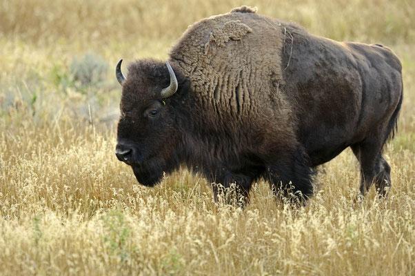 Amerikanischer Bison (Bos bison, Bison bison) / ch057885