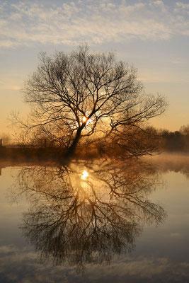 Silber-Weide (Salix alba) an der Lippe bei Sonnenaufgang / ch195582