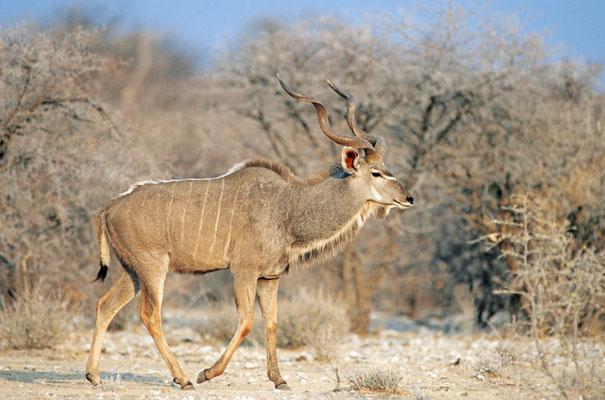 Großer Kudu (Tragelaphus strepsiceros) / chs05233