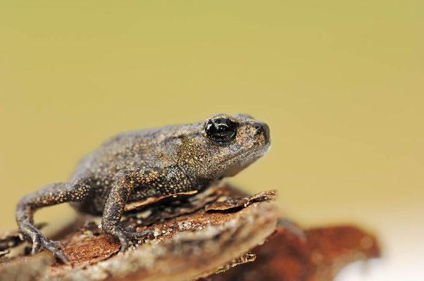 Erdkröte (Bufo bufo) / ch037193