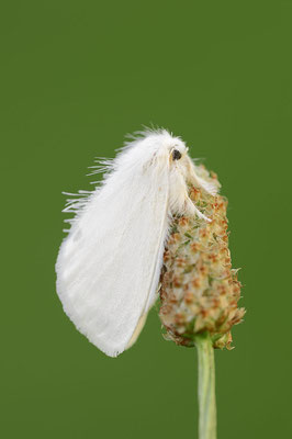 Schwan (Euproctis similis) / ch095305