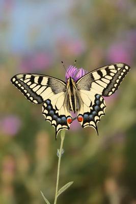 Schwalbenschwanz (Papilio machaon) / ch191095