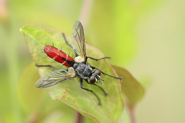 Raupenfliege (Cylindromyia bicolor) / ch108954