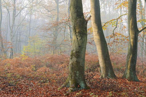 Rotbuchen (Fagus sylvatica) im Herbst, Nordrhein-Westfalen / ch196912