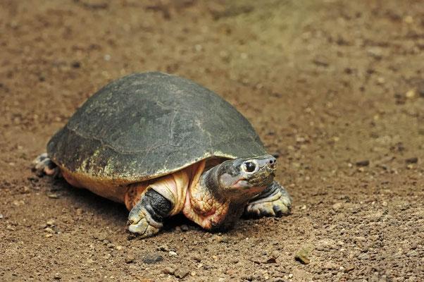 Borneo-Flussschildkröte (Orlitia borneensis) / ch037444