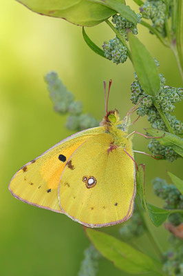 Goldene Acht (Colias hyale) / ch081245