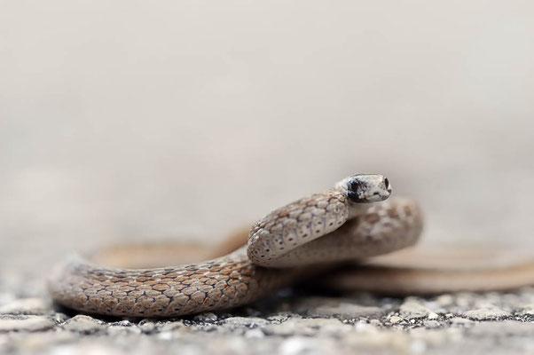 Dunkle Braunschlange oder Florida Braunschlange (Storeria dekayi victa) / ch064061