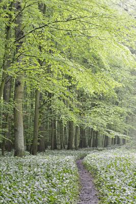 Bärlauch (Allium ursinum) im Laubwald, Nordrhein-Westfalen / ch144296