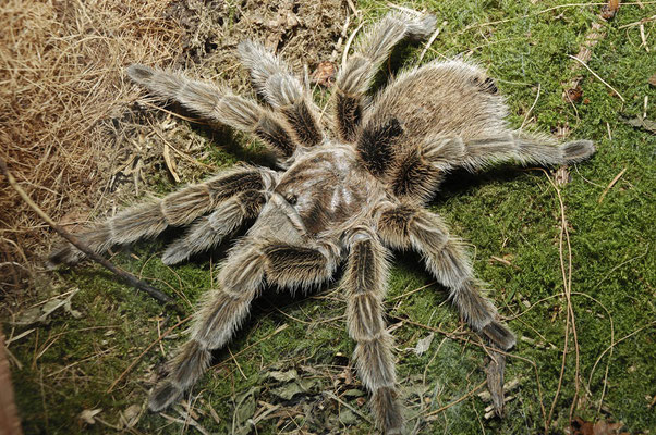 Rote Chile Vogelspinne (Grammostola rosea) / ch025335