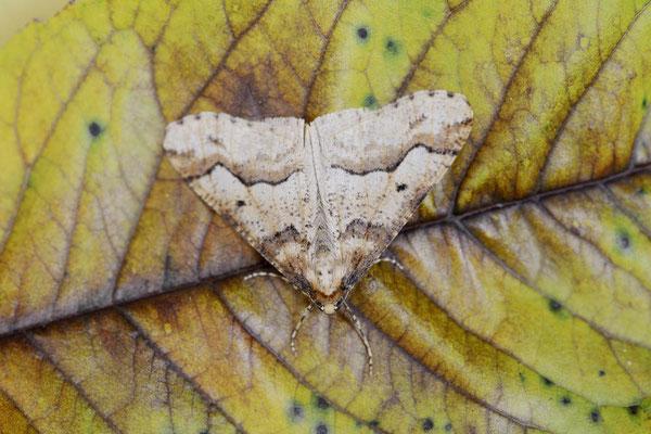 Großer Frostspanner (Erannis defoliaria) / ch141585
