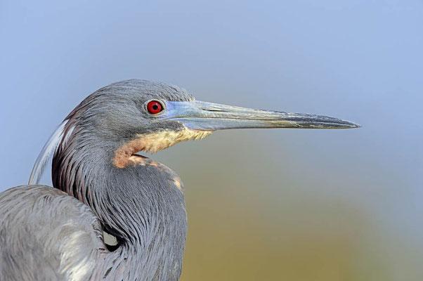 Dreifarbenreiher  (Egretta tricolor) / ch067966