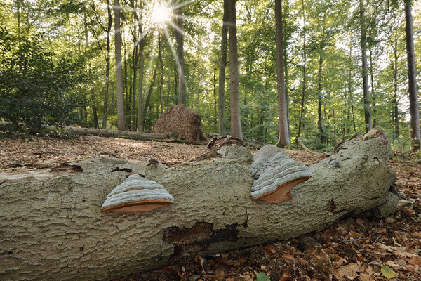 Totholz mit Zunderschwamm  (Fomes fomentarius),  Nordrhein-Westfalen / ch184878