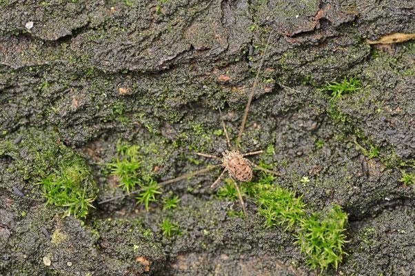 Gemeiner Weberknecht (Phalangium opilio) / ch097183