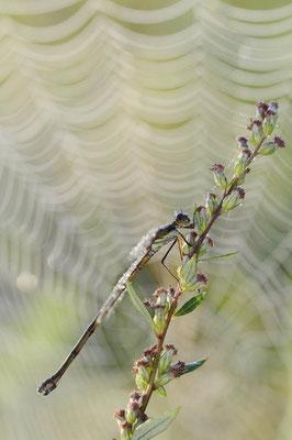 Gemeine Weidenjungfer (Lestes viridis, Chalcolestes viridis) / ch151584