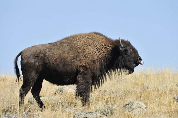 Amerikanischer Bison (Bison bison) / ch057871