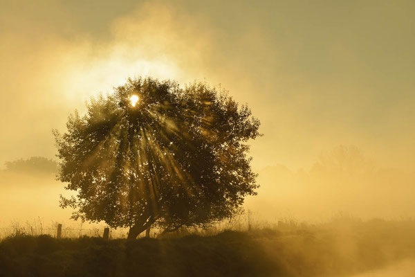 Baum bei Sonnenaufgang mit Nebel, Nordrhein-Westfalen / ch165323a