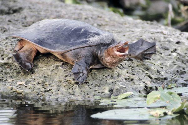 Florida Weichschildkröte (Apalone ferox, Trionyx ferox) / chs02938
