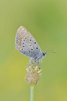 Hauhechel-Bläuling (Polyommatus icarus) / ch151496