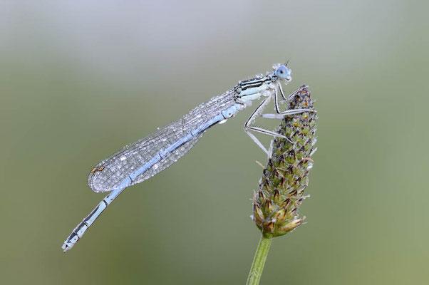 Blaue Federlibelle (Platycnemis pennipes) / ch151797