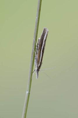 Zünsler (Agriphila latistria) / ch138668