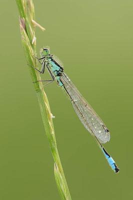 Große Pechlibelle (Ischnura elegans) / ch089272