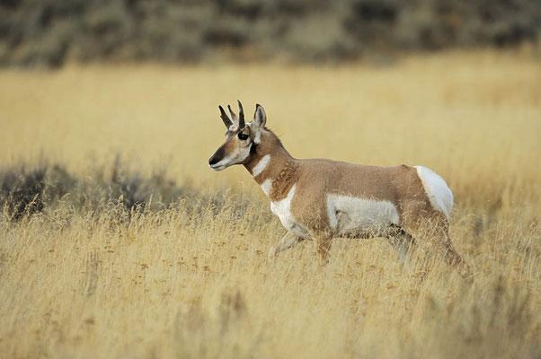 Gabelbock (Antilocapra americana) / ch057392