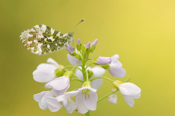 Aurorafalter (Anthocharis cardamines) / ch107216