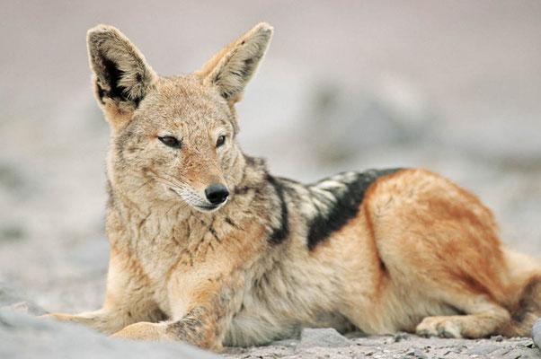 Schabrackenschakal (Canis mesomelas) / chs05213