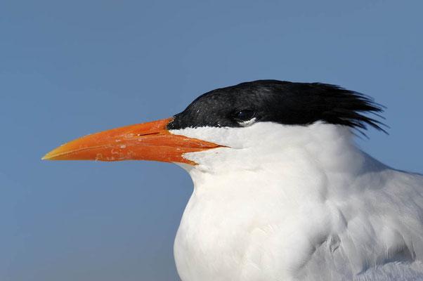 Königsseeschwalbe (Thalasseus maximus, Sterna maxima) / ch069316