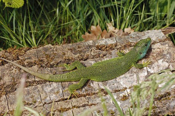 Westliche Smaragdeidechse (Lacerta bilineata) / ch053502