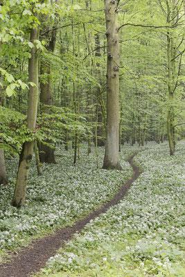 Bärlauch (Allium ursinum) im Laubwald, Nordrhein-Westfalen / ch144291