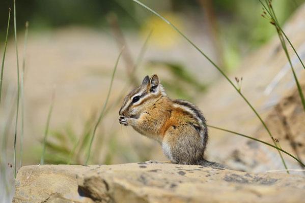 Kleines Streifenhörnchen (Tamias minimus, Neotamias minimus) / ch160298