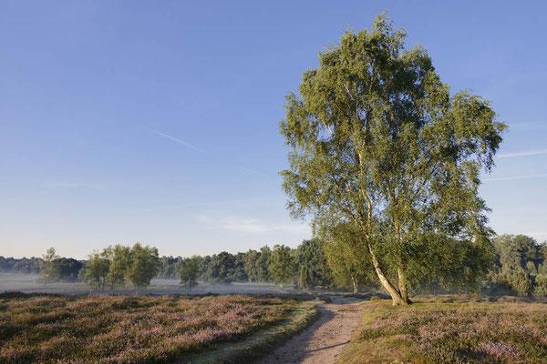 Birken und Wanderweg in blühender Heidelandschaft / ch174276