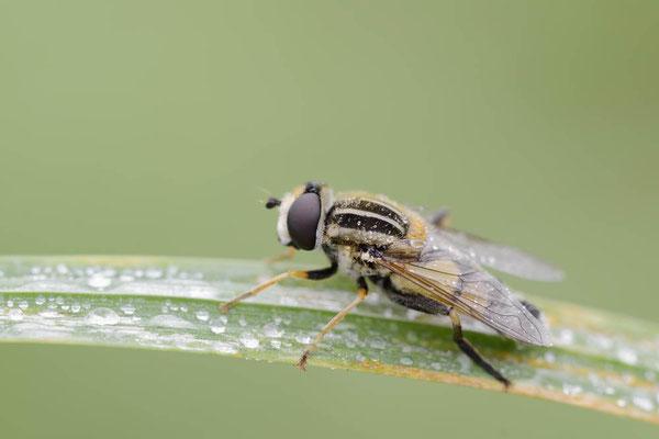 Große Sumpfschwebfliege (Helophilus trivittatus) / ch151410