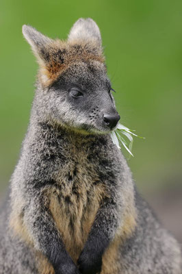 Sumpfwallaby (Wallabia bicolor) / ch120190