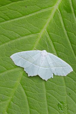 Perlglanzspanner oder Silberblatt (Campaea margaritaria) / ch098101