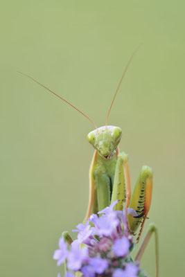 Europäische Gottesanbeterin (Mantis religiosa) / ch192051