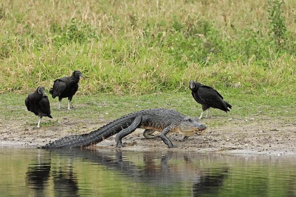Rabengeier (Coragyps atratus) und Mississippi-Alligator (Alligator mississippiensis) / ch024735