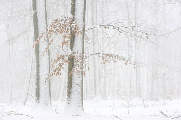 Rotbuchen (Fagus sylvatica) im Winter, Nordrhein-Westfalen / ch103812
