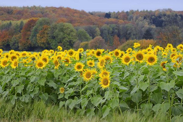 Sonnenblumenfeld und Laubwald im Herbst, Nordrhein-Westfalen / ch101059
